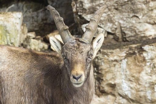 Capricorn, Ibex, Climb, Alpine, Nature, Wildlife, Horns