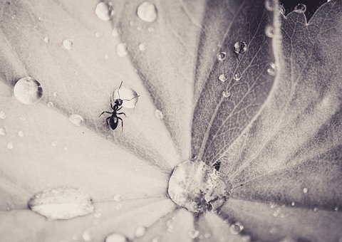 Ant, Leaf, Drip, Insect, Small, Nature, Monochrome
