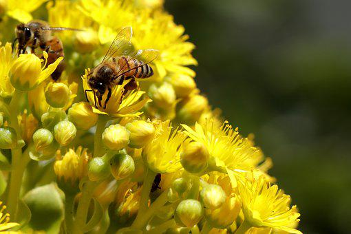 Bee, Honey Bee, Insect, Nature, Spring, Nectar, Yellow