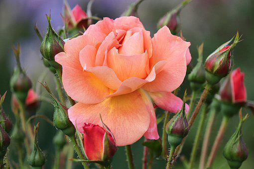 Rose, Bud, Orange, Salmon, Red, Rose Bloom, Romance