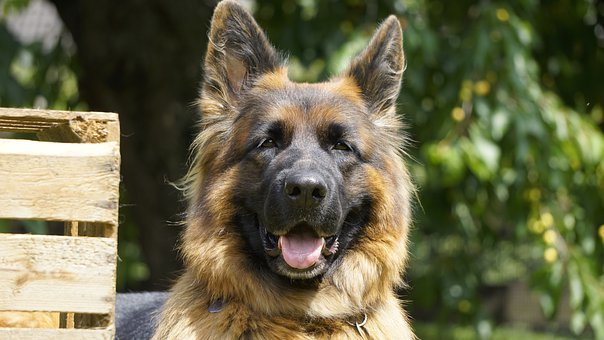 Schäfer Dog, Dog, Old German Shepherd Dog, Animal, Pet