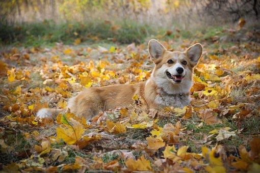 Corgi, Friendship, Purebred Dog, Pet, Shepherd's Dog