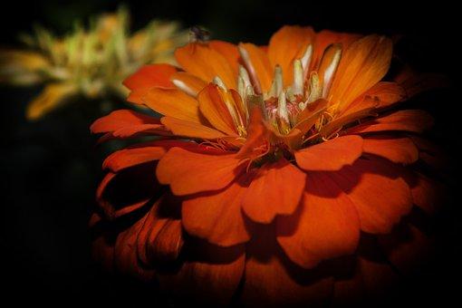 Zinie, Flower, Blossom, Bloom, Summer, Close Up, Plant