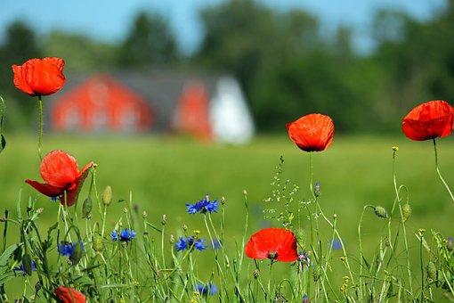 Cornflowers, Poppies, Meadow, Wild Flowers, Poppy