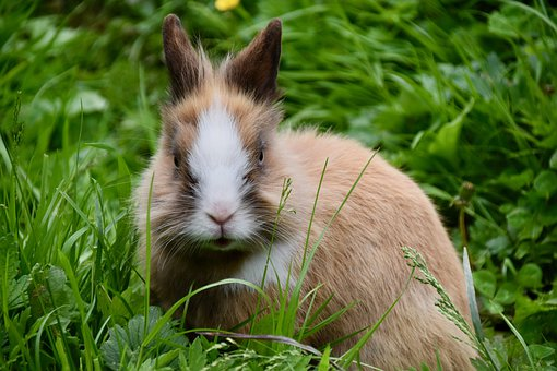 Rabbit, Dwarf Rabbit, Herbivore, Rodent, Cute, Portrait