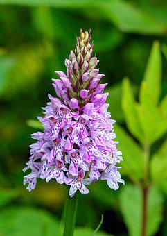 Orchid, Wildflower, Common-spotted, Color, Purple