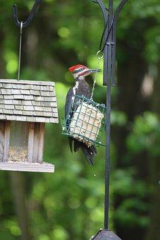 Pileated, Woodpecker, Bird, Beak, Feeder, Red, Crown