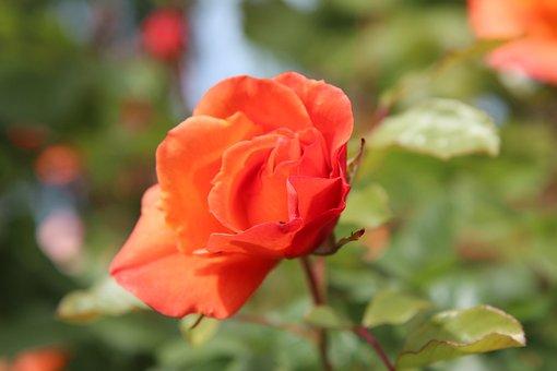 Pink, Roses, Rose Bud, Romantic, Botany