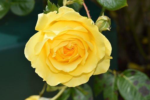 Flower, Yellow Rose, Rose Bud, Rosebush, Plant, Petals