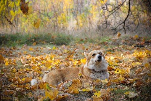 Corgi, Sly, Snout, Friendship, Pet, Shepherd's Dog
