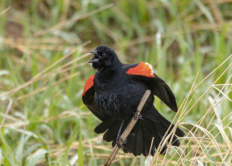 Birds Collection, Red-winged Black Bird, Singing Bird
