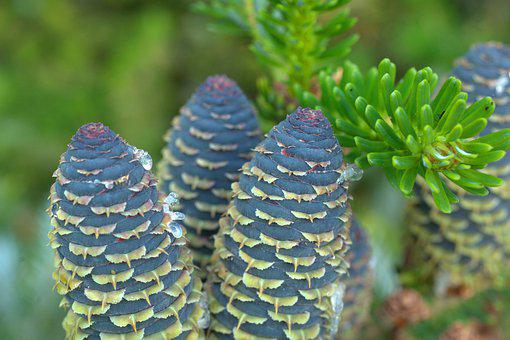 Pine Cones, Tap, Fir Tree, Tree, Nature, Forest
