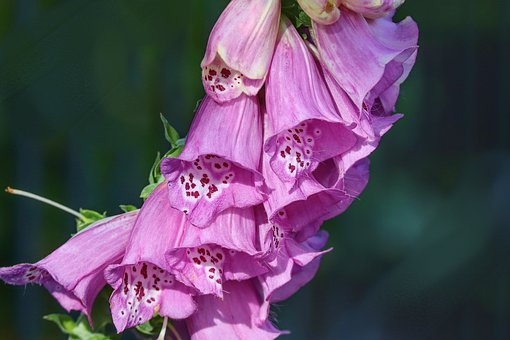 Thimble, Digitalis Purpurea, Cinquefoil, Fox Herbal
