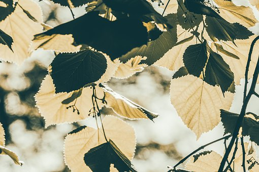 Leaves, Summer, Tree, Leaf, Natural, Light, Shadow