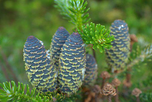 Fir Tree, Pine Cones, Tap, Tree, Nature, Forest