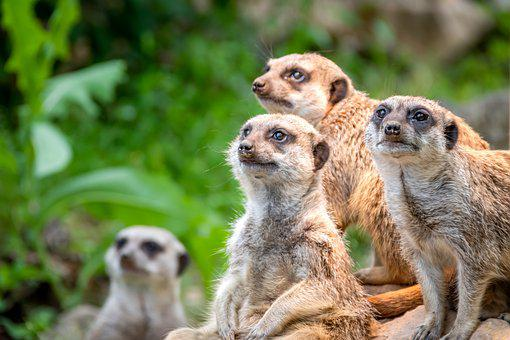 Nature, Animal World, Meerkat, Sit, Vigilant, Attention