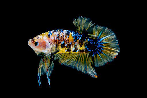 Betta Fish Yellow, Fish, Betta, Aquarium, Water, Animal