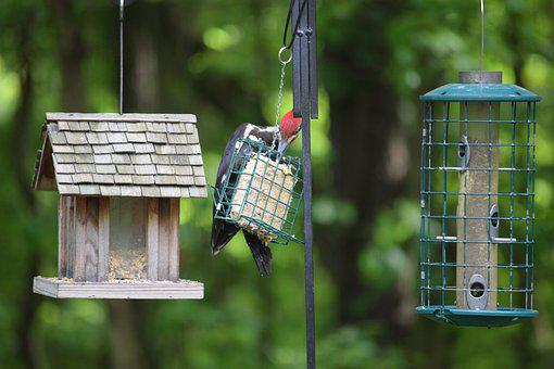 Pileated, Woodpecker, Woodie, Bird, Feeder, Feeding