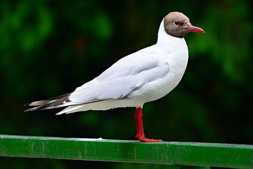 Black Headed Gull, Sea Bird, Animal, Wildlife, Feather