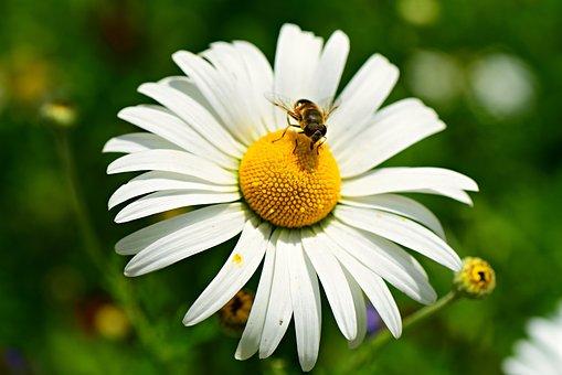 Ox-eye Daisy, Flower, Insect, Bee, Petal, Heart