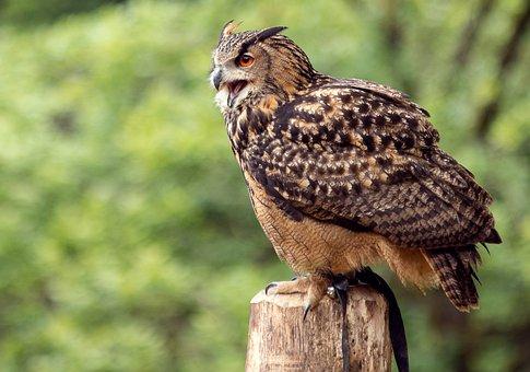 Eagle Owl, Bird, Animal, Animal World, Bird Of Prey