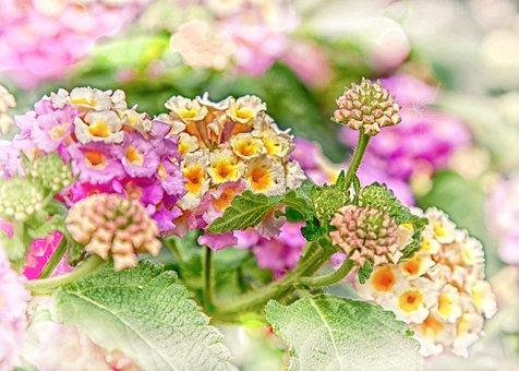 Lantane, Lantana, Hdr, Flower, Blossom, Bloom, Plant
