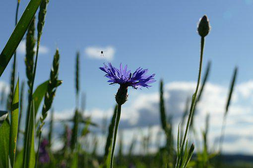 Cornflower, Cyanus Segetum, Sky, Blue, Fly, Nature