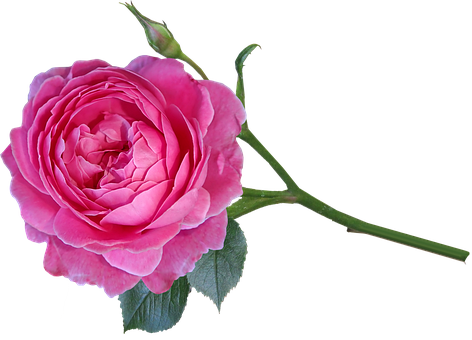 Rose, Flower, Bloom, Perfume, Stem, Bud, Cut Out