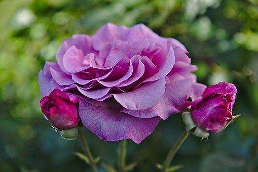 Rose, Rose Bloom, Flower, Garden, Bloom, Violet, Bud
