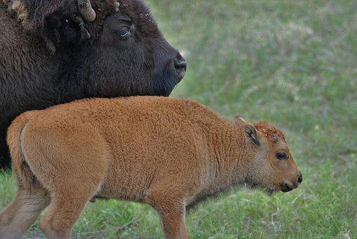 Bison, Buffalo, Young Bison, Family, Mothering