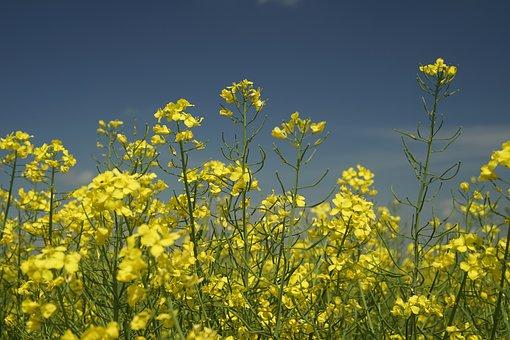 Canola, May, Farm, Color, Countryside, Oil, Summer