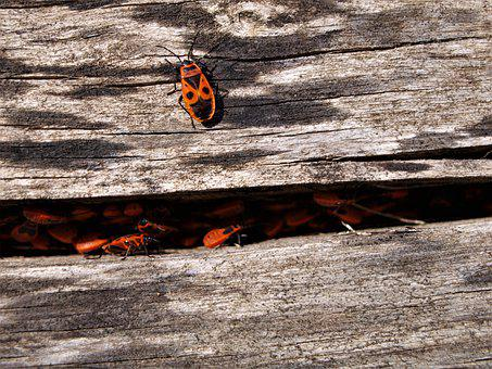 Fire Bug, Insect, Close Up, Nature, Bug, Beetle, Red