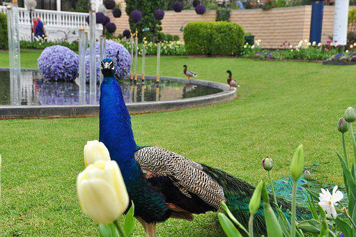 Bird, Peacock, Feather, Colorful, Animal, Color
