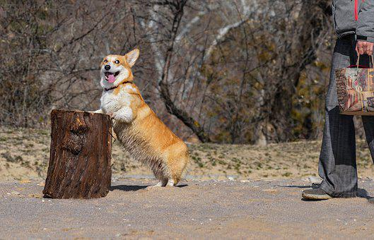 Corgi, Dog, Stump, Log, Friendship, Pet, Animal, Cute