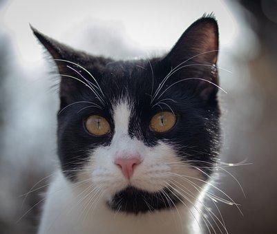Cat, Head, Portrait, Eyes, Face, Domestic Cat, Close Up