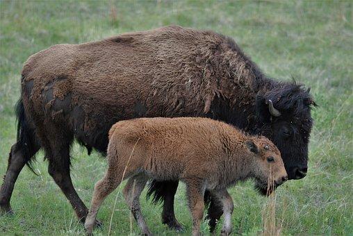 Buffalo, Bison, Cub, Family, Closeness, Togetherness