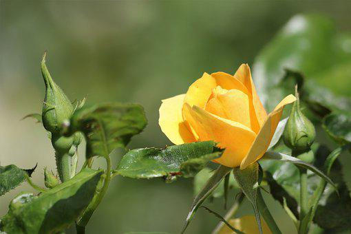Yellow Rose, Bud, Flower, Petals, Spring, Park