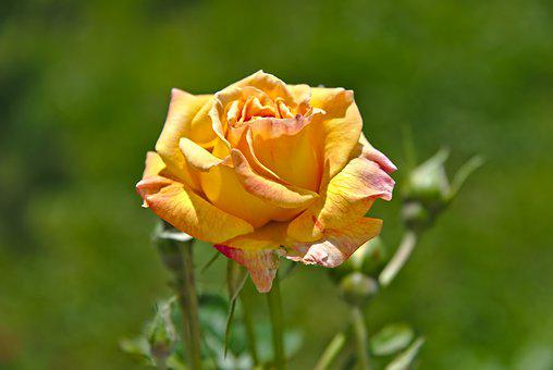 Rose, Rose Bloom, Flower, Garden, Bloom, Yellow, Bud