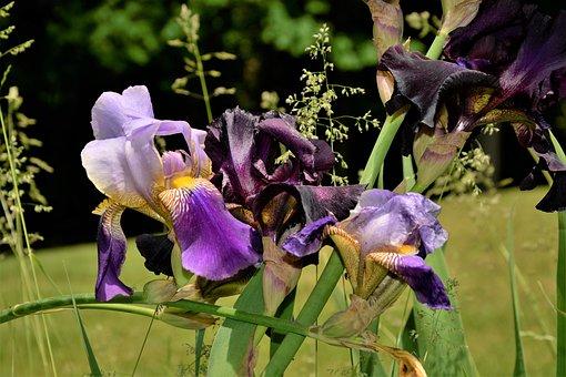 Flowers, Iris Flowers, Black, Violet, White, Group