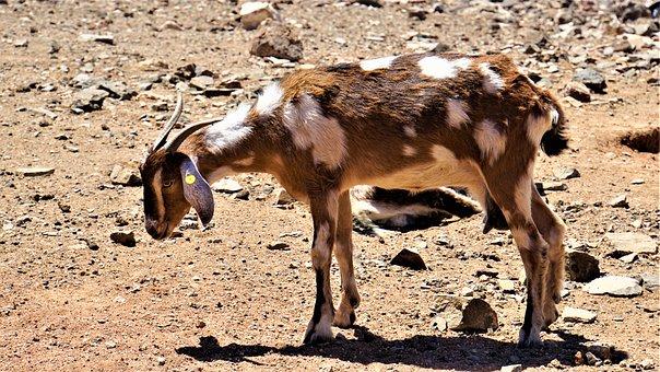 Goat, Spotted, White Brown, Horns, Udder, Hoof