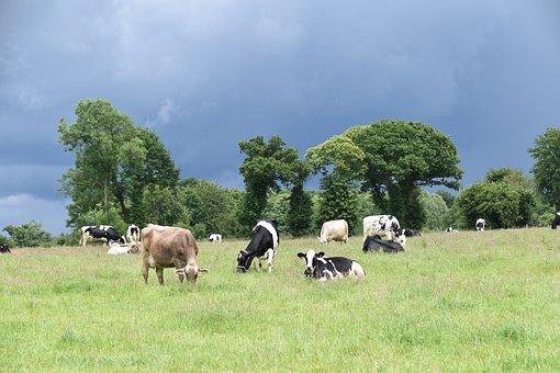 Landscape, Pre Cows, Cattle, Field, Pastures