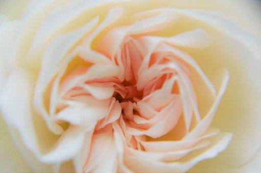 Roses Floribunda, Flower, Pink, Plant, Romantic, Love