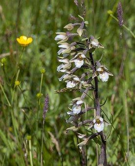 Marsh-helleborine, Wildflower, Orchid, Plant, Nature
