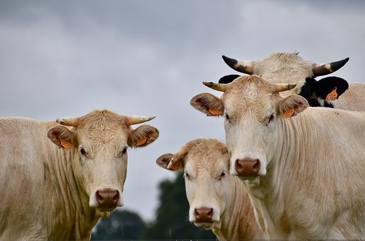 Cows, Milk Cows, Horned Cows, Breeding, Cattle