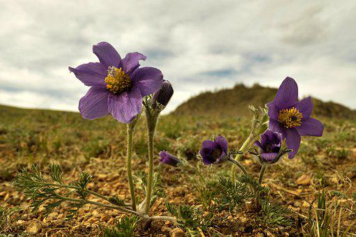 Pasqueflower, Steppe, Mongolia, Landscape, Clouds, Sky