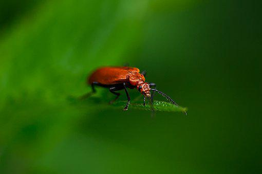 Beetle, Insect, Nature, Animal World, Red, Close Up