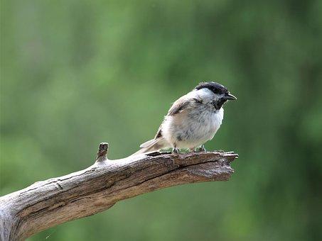 Marsh Tit, Bird, Tit, Songbird, Nature, Animal