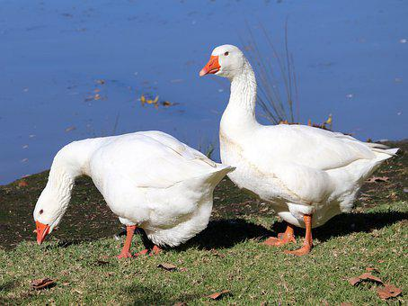 Geese, Birds, Poultry, Lake, Park, Nature