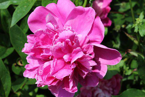 Peony, Blossom, Bloom, Petals, Bloom, Love