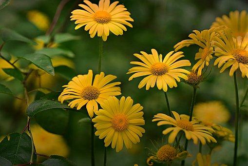 Plantain-leaved Leopard's-bane, Flower, Plant, Petal